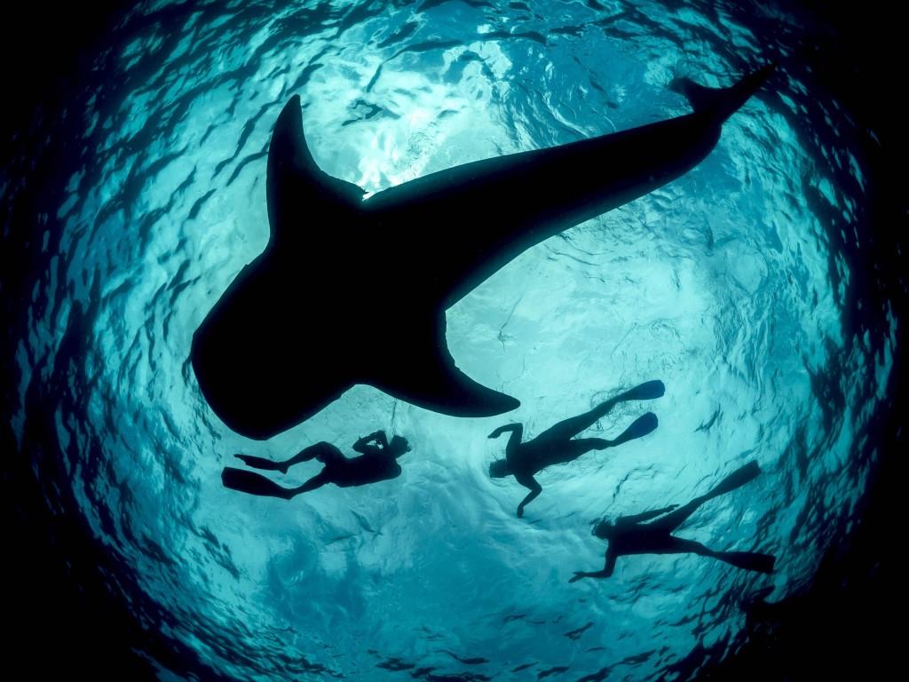 Ningaloo-requin-baleine
