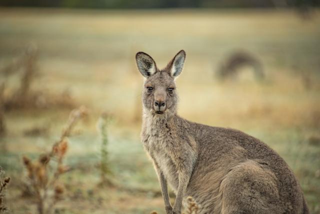 kangourou island 3333